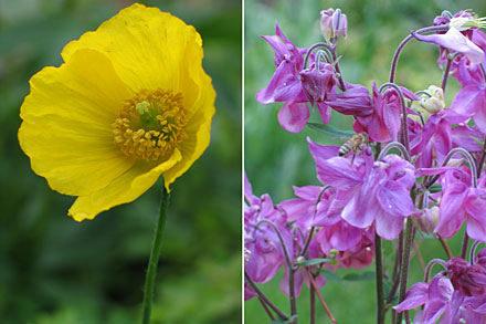 Poppy and columbine